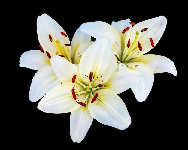 Białe lilie na czarnym tle na białym tle