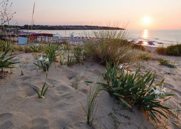 Białe lilie piaskowe na piaszczystej plaży. wschód słońca.