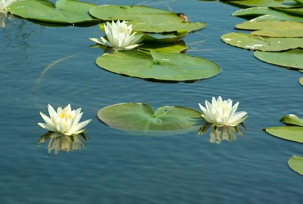 Białe lilie w wodzie.