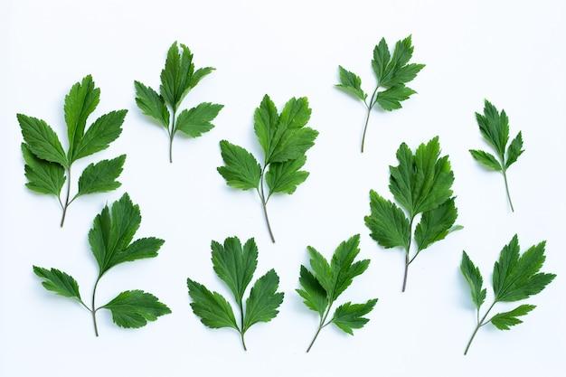 Białe liście bylicy na białej powierzchni