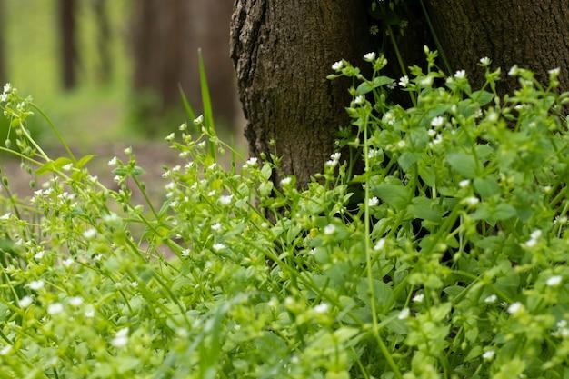 Białe małe kwiaty zielone duże liście i białe kwiaty