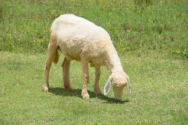 Białe owce jedzą trawę na farmie.