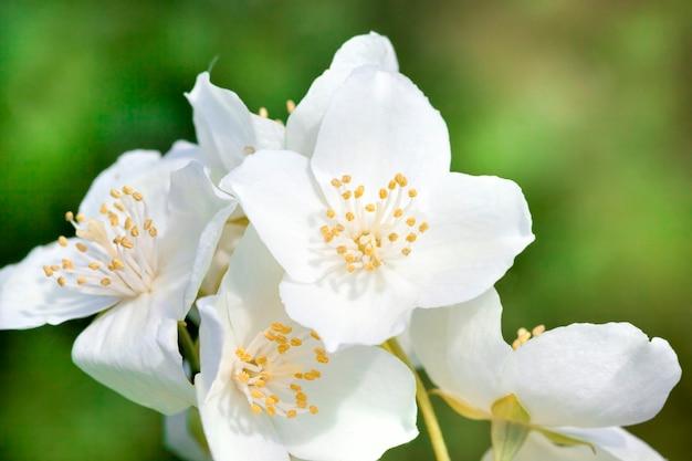Białe piękne i pachnące kwiaty jaśminu z bliska w okresie kwitnienia, wiosna maj kwitnie w przyrodzie