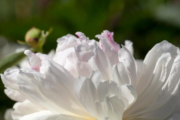 Białe piwonie kwitnące latem, kwitnące rośliny do dekoracji terytorium