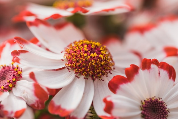 Białe płatki kwiatów z fioletowym środkiem
