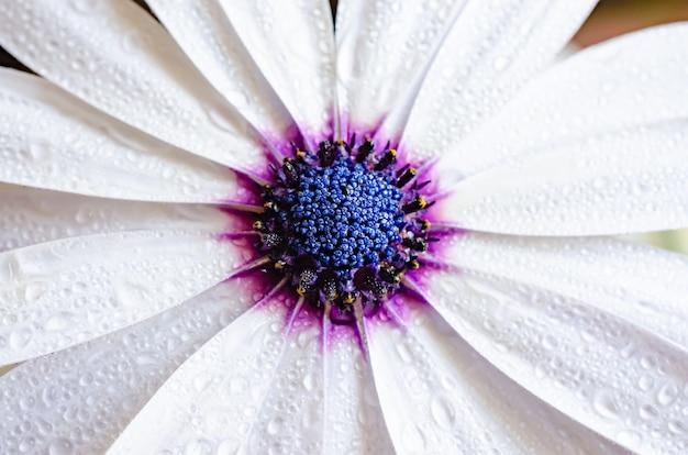 Białe płatki z kroplami rosy centralny niebieski i fioletowy rdzeń makro