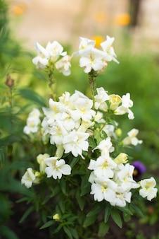Białe, podwójne kwiaty lwia paszcza rosną latem w ogrodzie