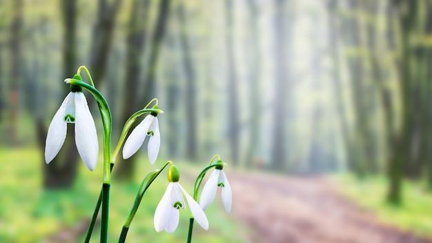 Białe przebiśniegi na tle lasu w słoneczną pogodę