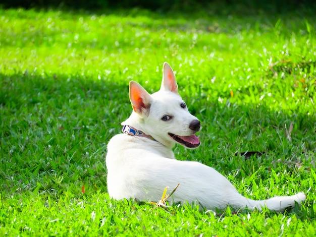 Białe psy są urocze i jasne, leżą na trawniku