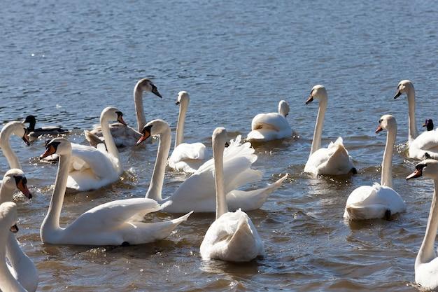 Białe ptactwo wodne wiosną, dzika przyroda z ptactwem wodnym