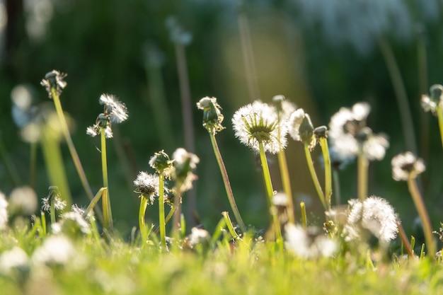 Białe puszyste mlecze, naturalne zielone tło niewyraźne wiosna, selektywny fokus.