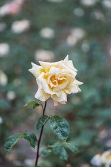 Białe róże na świeżym zielonym liściu.
