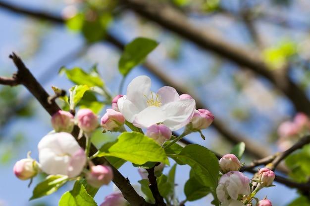 Białe różowe kwiaty jabłoni podczas kwitnienia w sadzie