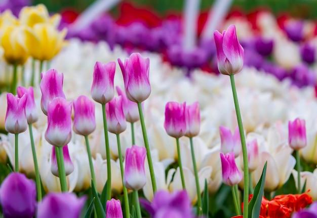 Białe różowe tulipany na tle tulipanów w różnych kolorach
