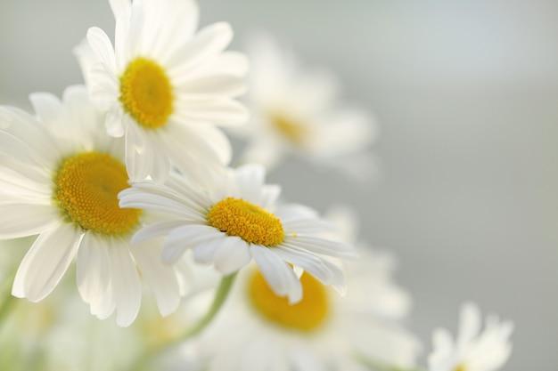 Białe rumianki delikatne. kwiaty rumianku