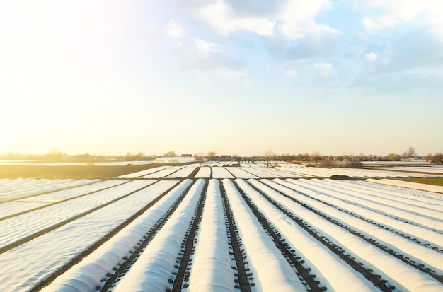 Białe rzędy spunbond na polu farmy.