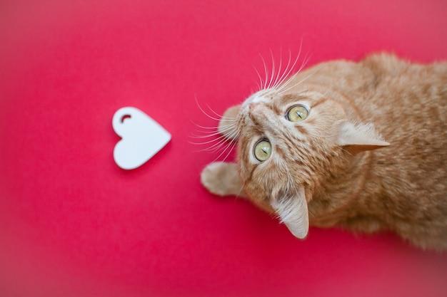 Białe serce i czerwony gruby zabawny kot