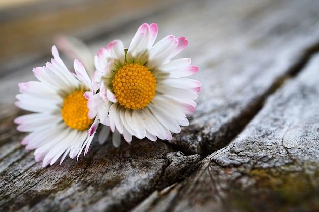 Białe stokrotki kwiaty w ogrodzie w przyrodzie