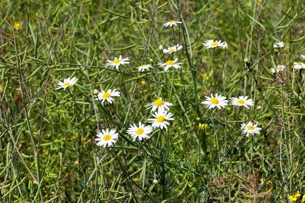 Białe stokrotki polne na polu z rozkwicie rzepaku, pole gospodarstwa w lecie