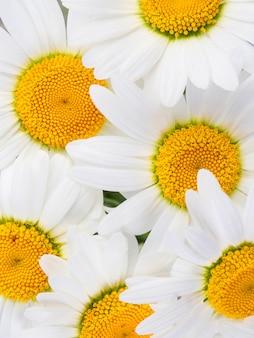 Białe stokrotki z żółtymi centrami bukiet naturalny kwiatowy tło
