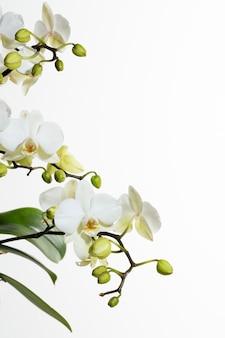 Białe storczyki z boku