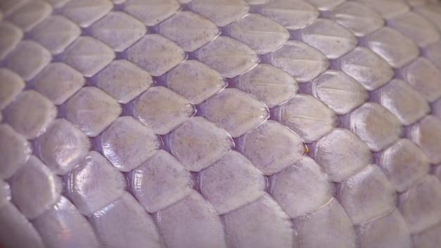 Białe tło tekstury skóry węża