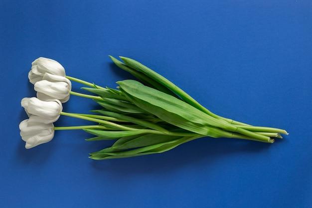 Białe tulipany na białym tle na ciemnoniebieskiej ścianie. wiosenne kwiaty flatlay z copyspace i miejscem tekstu. koncepcja zielonych roślin i wiosennych wibracji.