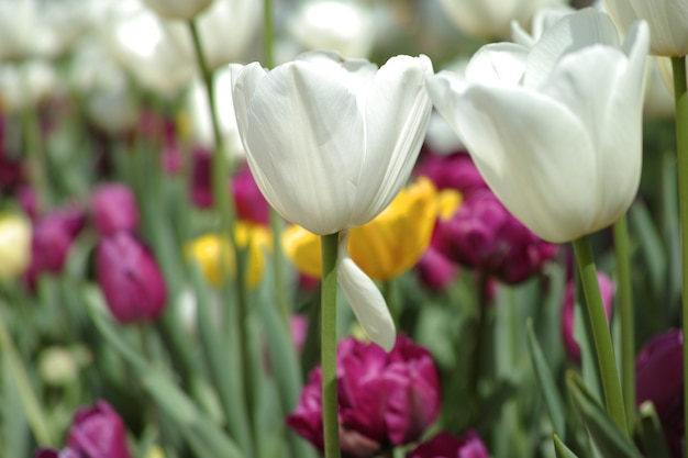 Białe tulipany z nieostre tło