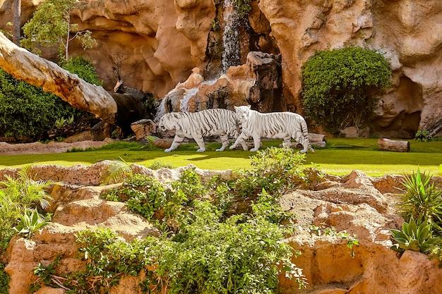 Białe tygrysy bengalskie chodzą po dżungli