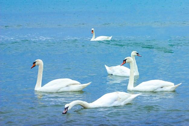 Białe wdzięczne piękne ptaki łabędzie pływają w błękitnej wodzie