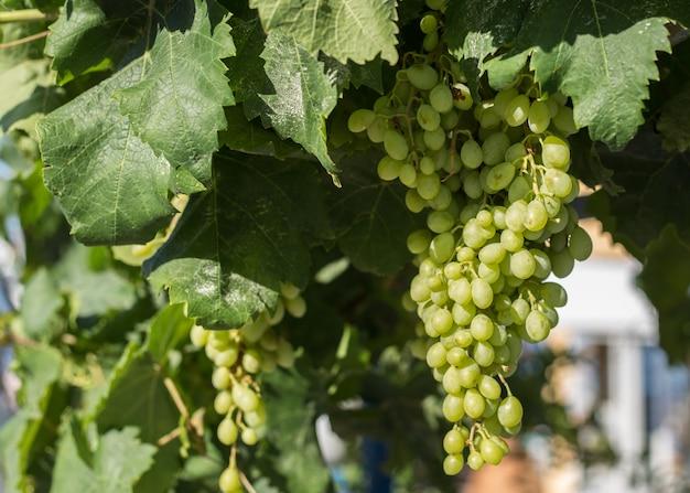 Białe winogrona wiszące na krzaku w piękny słoneczny dzień.