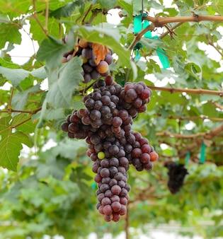 Białe winogrona zwisające z bujnej zieleni winorośli z rozmytą przestrzenią winnicy