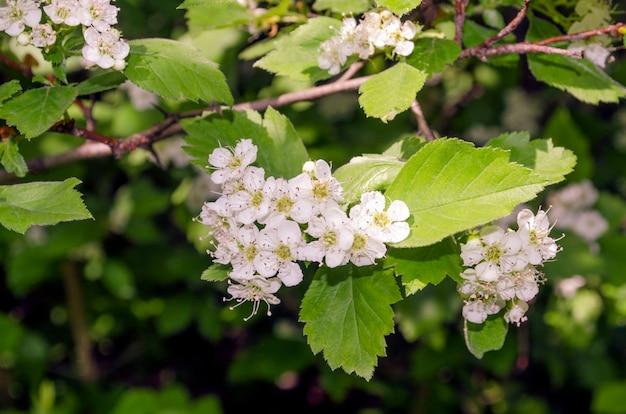 Białe wiosenne kwiaty głogu na kłującej gałęzi w jasnym świetle słonecznym