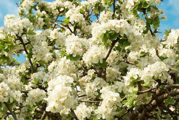 Białe wiosenne kwiaty jabłoni z błękitnym niebem