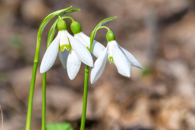 Białe wiosenne kwiaty przebiśniegi w lesie, zdjęcia makro