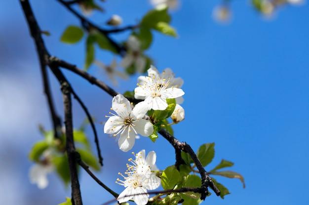 Białe wiśnie kwitną wiosną, w okresie kwitnienia roślin. zdjęcie zbliżenie z małą głębią ostrości.