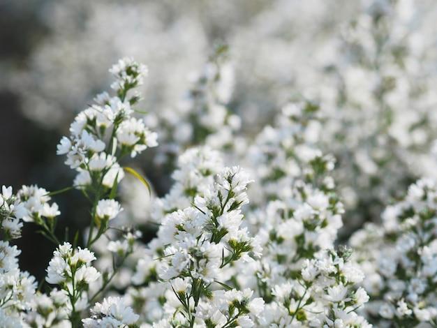 Białe włoskie astry lub stokrotki kwitnące na farmie.