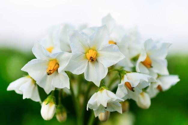 Białe ziemniaczane kwiaty