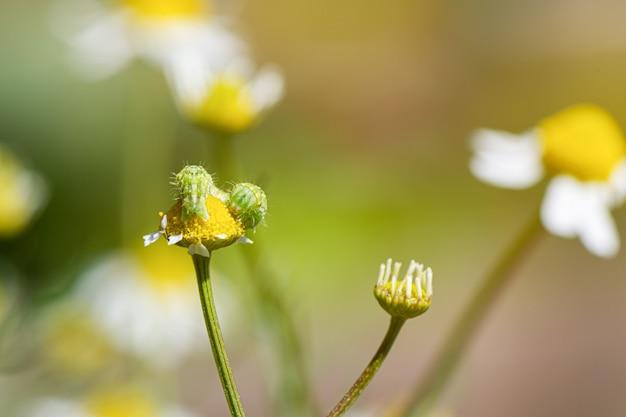 Białe żółte chamomile rośliny kwitną łąki zakończenie up