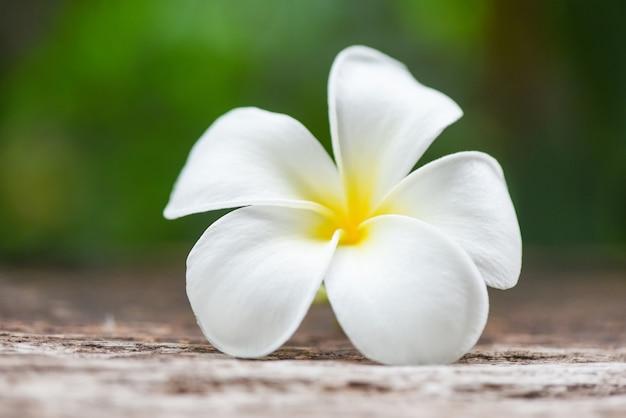 Białego kwiatu frangipani plumeria na natury zieleni tropikalnych kwiatach w ogródzie