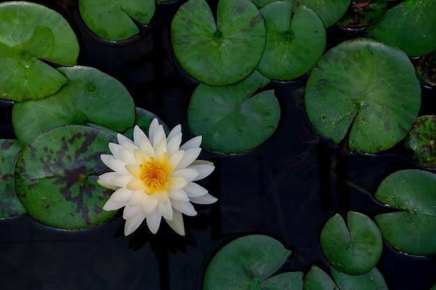 Białego lotosowego kwiatu kwitnący tło