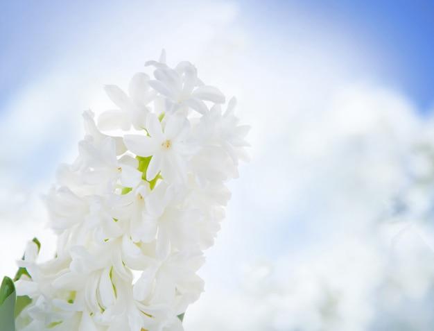 Biali hiacyntowi kwiaty nad niebem.