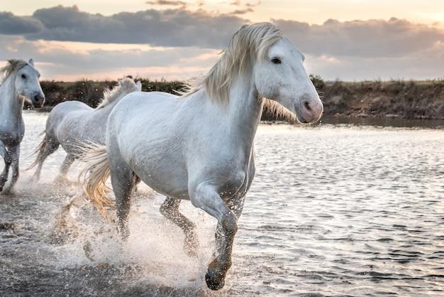 Biali konie w camargue, francja.