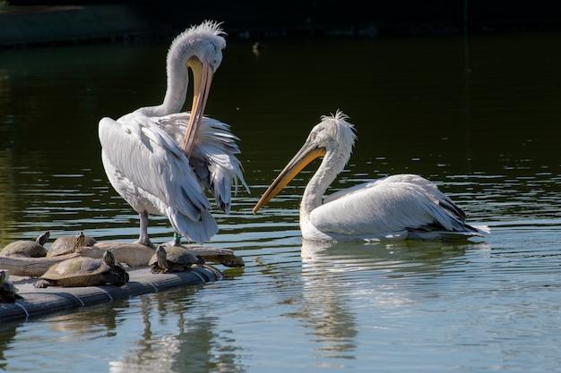 Biali pelikany pływa w jeziorze