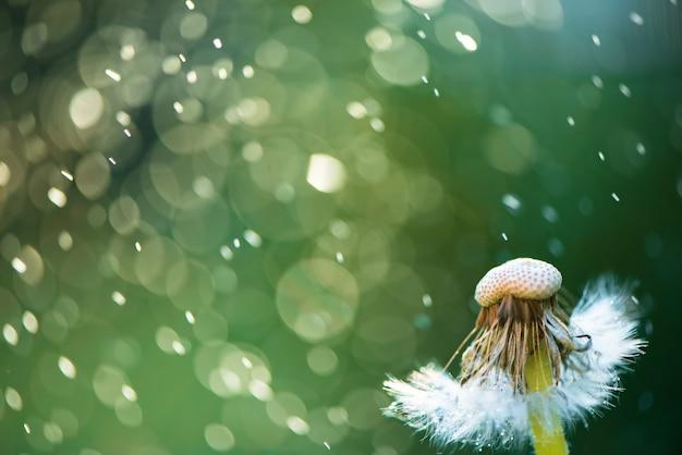 Biali Puszysti Dandelions, Naturalna Zieleń Zamazywali Wiosny Tło, Selekcyjna Ostrość. Premium Zdjęcia