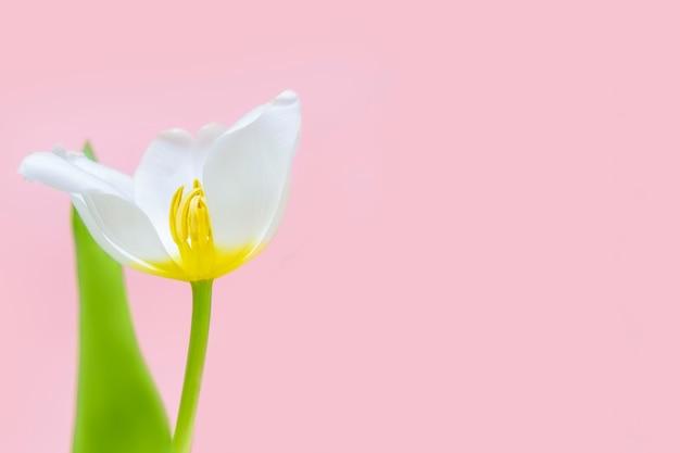 Biali świezi makro- tulipany w szklanej wazie odizolowywającej na różowym tle. dzień kobiet, kartkę z życzeniami wszystkiego najlepszego, koncepcja kwiaciarni. skopiuj miejsce studio strzał
