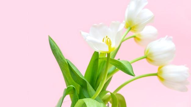 Biali świezi tulipany w szklanej wazie odizolowywającej na różowym tle. dzień kobiet, kartkę z życzeniami wszystkiego najlepszego, koncepcja kwiaciarni. skopiuj miejsce studio strzał baner