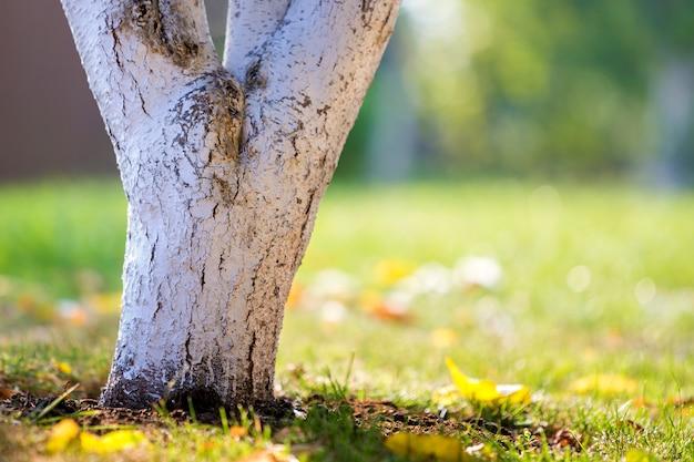 Białkująca barkentyna drzewny dorośnięcie w pogodnym sadu ogródzie na zamazanym zieleni kopii przestrzeni tle.