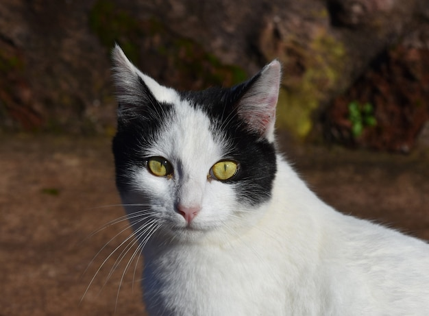 Biało-czarny kot z niezwykłymi jasnożółtymi oczami.