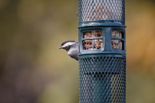 Biało-czarny ptak na niebieskiej klatce